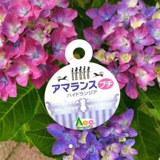 ⑤ちょっと珍しい紫陽花挿し穂(その他)