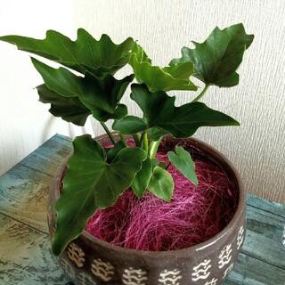 ヤシの木 ファイバー 観葉植物(その他)