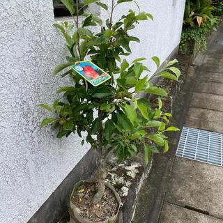 りんご アルプス乙女 実付き(フルーツ)