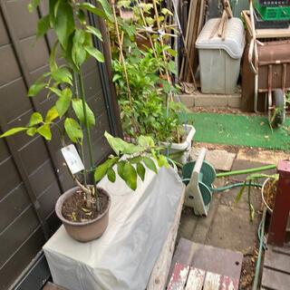 四季成りレモン 苗木(フルーツ)