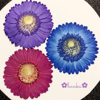 ✿押し花素材✿染色ガーベラ3輪セット【直径約7.5cm】