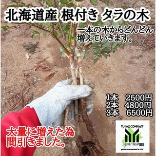 北海道産 タラの木 根付き 3本(野菜)