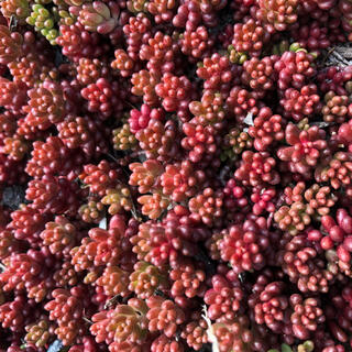 195 赤く紅葉するセダム コーラルカーペット 70苗 即購入歓迎(その他)
