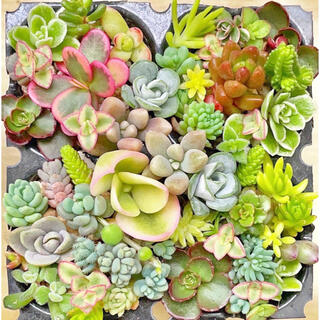 多肉植物 セダムカット 32種 カラフルセット.☆.。.:*・(その他)