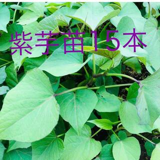 紫芋苗15本(野菜)
