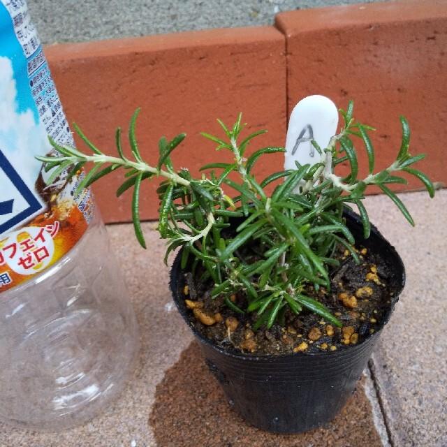 ローズマリー無農薬苗5本 ハンドメイドのフラワー/ガーデン(その他)の商品写真