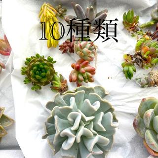 多肉植物 カット苗 10種 セット(その他)