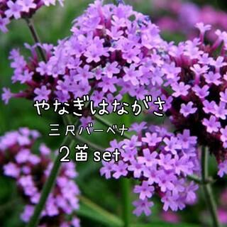 ヤナギハナガサ  花苗三尺バーベナ宿根草(その他)