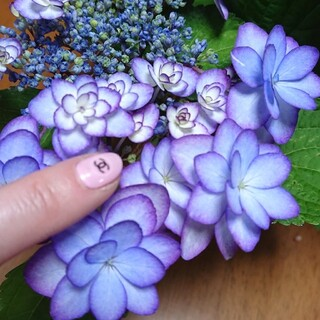 紫陽花挿し穂(その他)