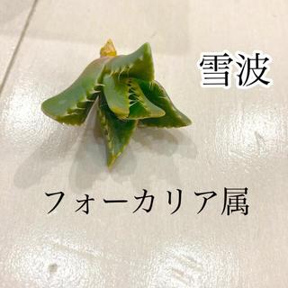 多肉植物 雪波(その他)