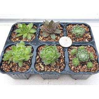 特価‼️多肉植物 センペルビウム 札落ち6種 抜き苗セット5(その他)
