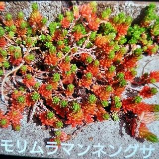 多肉植物 モリムラマンネンソウ セダム(その他)