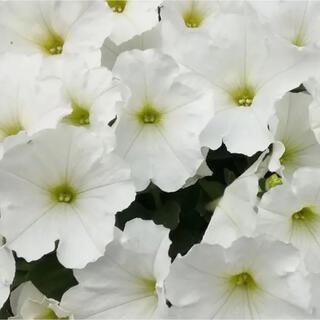 ペチュニア  花の種 白 300粒以上 +おまけ(その他)