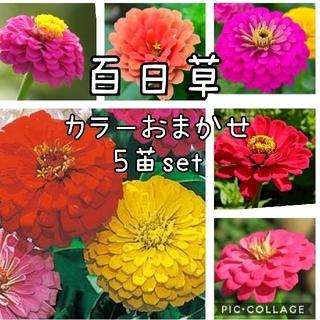 百日草  花苗 5本 セット(その他)