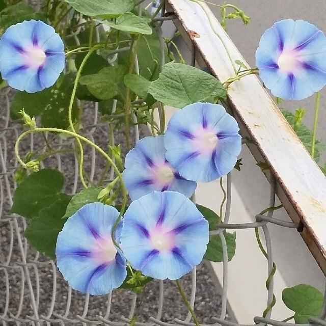 Lotta*様専用。 西洋アサガオ   種セット ハンドメイドのフラワー/ガーデン(その他)の商品写真