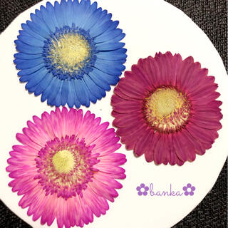 ✿押し花素材✿濃い染色ガーベラ3輪セット【直径約7.5cm】