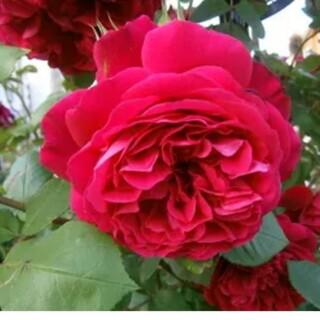 薔薇の挿し穂2本。(その他)
