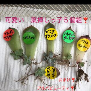 多肉植物 葉挿しっ子 5個組❣️(安心の発芽発根済み)(その他)