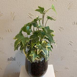 アイビー 観葉植物 ハイドロカルチャー(ドライフラワー)