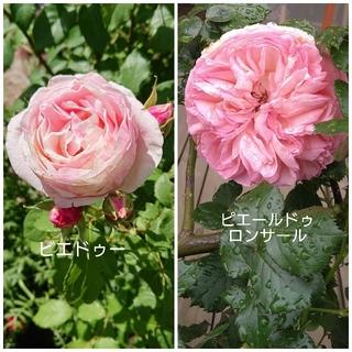 初心者向 セット 殿堂 薔薇 イングリッシュガーデン 薔薇の庭 ピンク 絞り(その他)