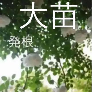 大苗(ᵔᴥᵔ)アルベリックバルビエ♡可愛いお庭♡(ホワイトガーデン アンティーク(その他)