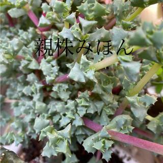 多肉植物★琴爪菊(その他)