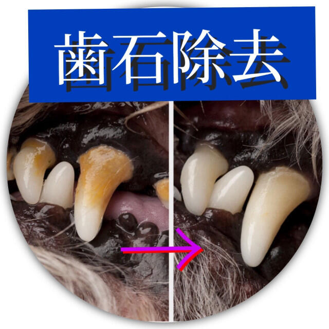 ペット用歯石スケーラー/デンタルケア/歯石除去/犬猫用 その他のペット用品(犬)の商品写真
