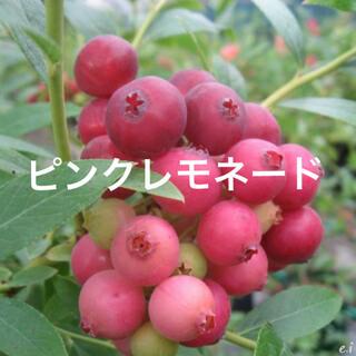 レア! ピンクのブルーベリー ピンクレモネード 苗木 鉢ごと 安心のラクマ便(フルーツ)