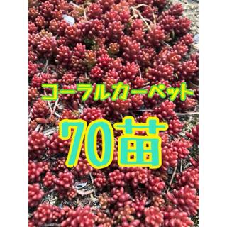 コーラルカーペット 赤く紅葉するセダム 70苗程度(その他)