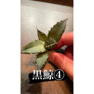 アガベ チタノタ 黒鯨④ 台湾株(その他)