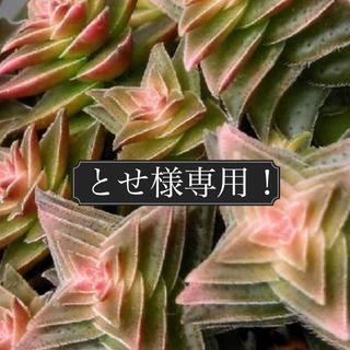 多肉植物 とせ様専用ページ!!(その他)