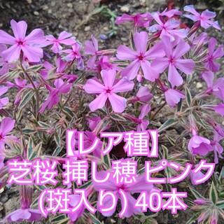 【レア種】芝桜 挿し穂 ピンク(斑入り)40本(その他)