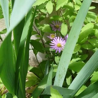 ノコンギク 紫色のお花 根付き抜き苗 (その他)