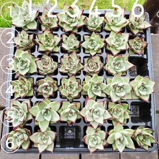多肉植物 エボニー (丸葉)