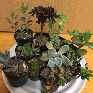 多肉植物❤️抜き苗 10鉢セット(その他)