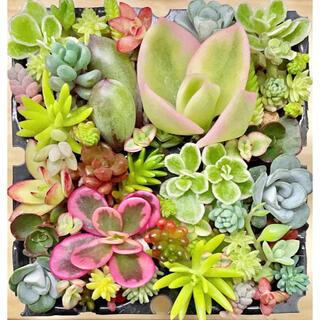 多肉植物 セダムカット 30種 カラフルセット.☆.。.:*・(その他)