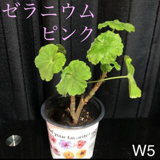 【W5】ゼラニウム ピンク 抜き苗(その他)