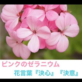 【W3】ゼラニウム ピンク 抜き苗(その他)