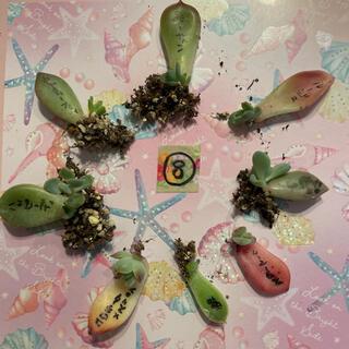 ⑧ 多肉植物 葉挿し 小苗 8種セット❤(その他)