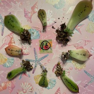 ⑯ 多肉植物 葉挿し 小苗 8種セット❤(その他)