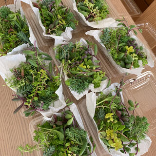 多肉植物 1パック 寄せ植え 希望あれば育て方送ります カット苗(その他)