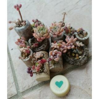 【多肉植物】コルク植え抜き苗(その他)