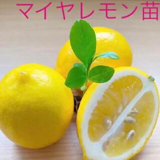 マイヤレモン赤ちゃん苗4cmポット1株(その他)