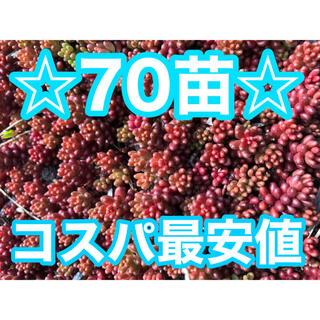 207赤く紅葉するセダム コーラルカーペット 70苗(その他)