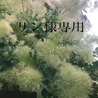 スモークツリー 中〜大ランダム10本 フレッシュ(その他)