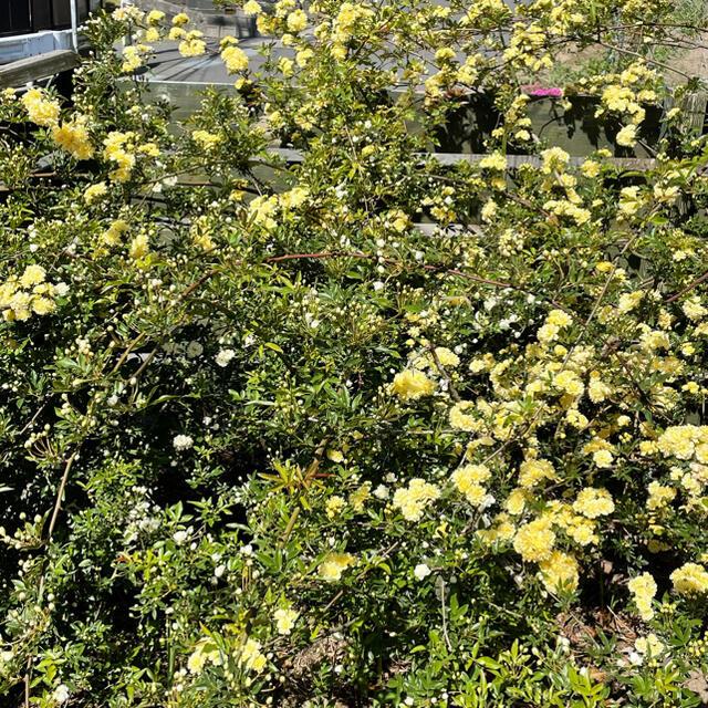 モッコウバラ白 黄色さし穂 ハンドメイドのフラワー/ガーデン(ドライフラワー)の商品写真