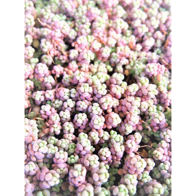 パープルヘイズ カット芽 オマケ付き 紅葉する多肉植物 セダム ピンク紫 ハンドメイドのフラワー/ガーデン(その他)の商品写真