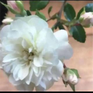 A(ᵔᴥᵔ)グリーンアイス ミニバラ 挿し穂苗 発根♡ホワイトガーデン♡(その他)