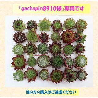多肉植物 【0556】  カラフルミニセンペル30種セット(名前付き)(その他)