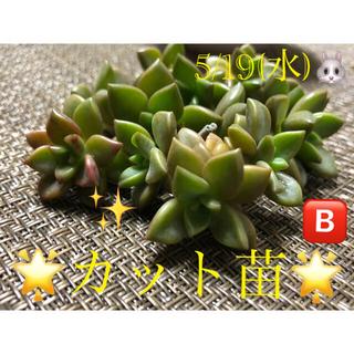 多肉植物❤︎ブロンズ姫❤︎カット苗❤︎12頭♪🅱️(その他)